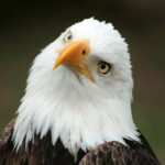 Curious Bald Eagle